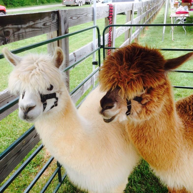 Powhatan Fiber Festival - Alpacas