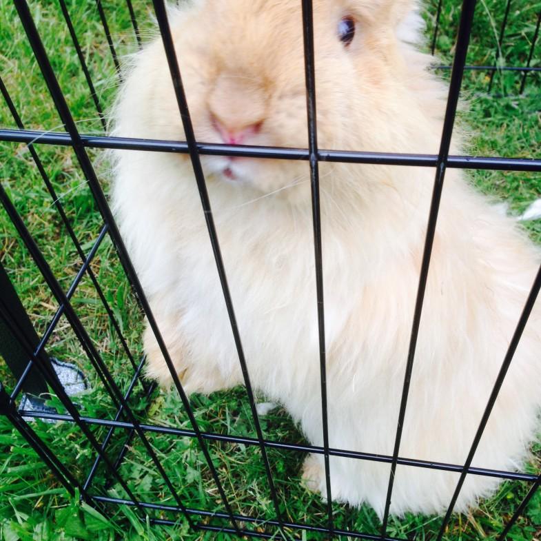 Powhatan Fiber Festival - Curious Bunny