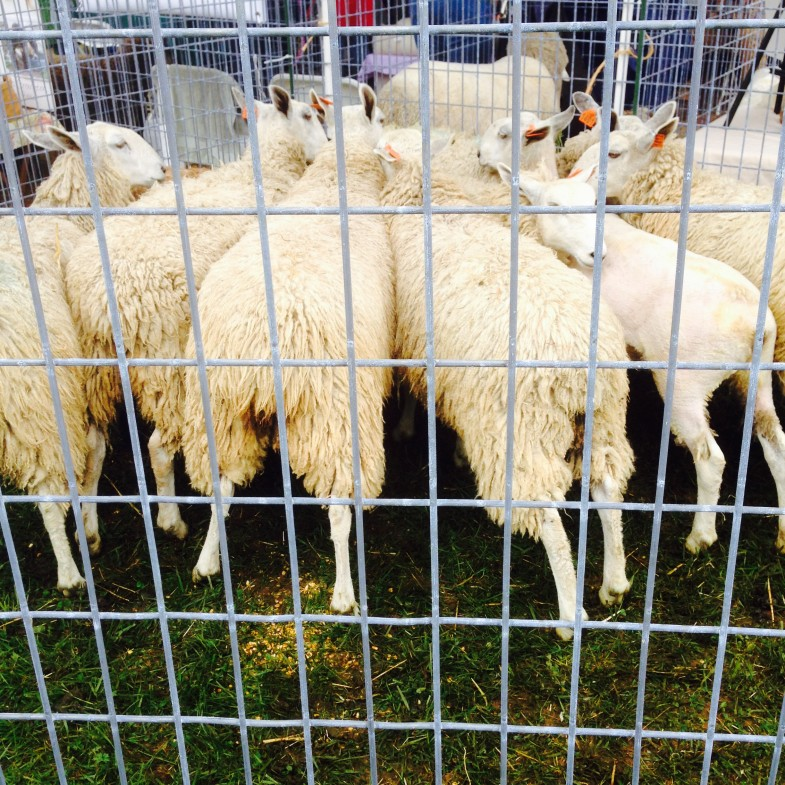 Powhatan Fiber Festival - Sheep